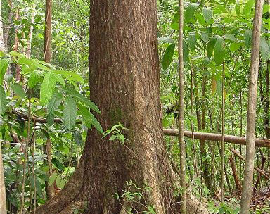Mahogany tree growing on plantation