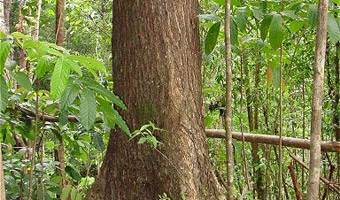Plantation Mahogany tree