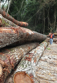 logging Genuine Mahogany