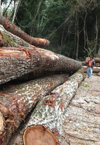 logging Genuine Mahogany
