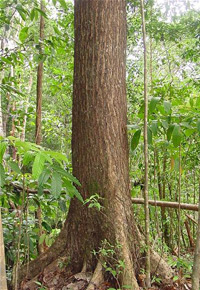 Mahogany tree on plantation