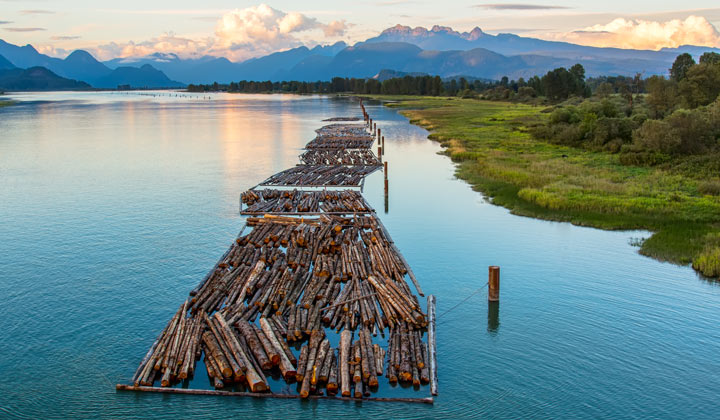 newly cut logs being transported down river